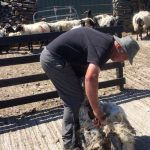 Tom Sheering a Sheep. jpg
