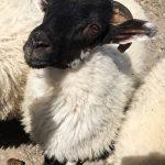 Tom Shepherd Sheep 1 copy