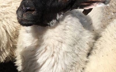 Lessons from an Irish Shepherd