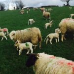 ewes-and-lambs