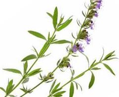 Purge Me with Hyssop